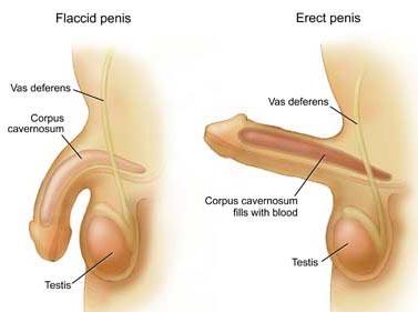 Cơ quan sinh dục nam