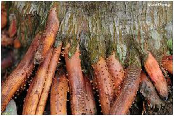 Rễ cau chữa yếu sinh lý rất tốt
