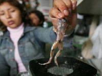 Sinh tố ếch