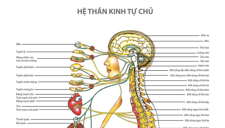 Hệ thần kinh tự chủ