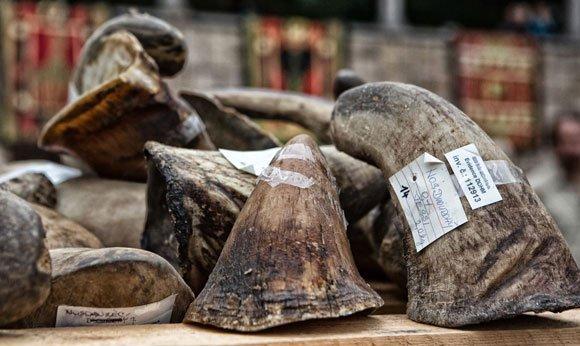 Sừng tê giác có tác dụng như tin đồn hay không