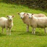 Tác dụng của nhau thai cừu