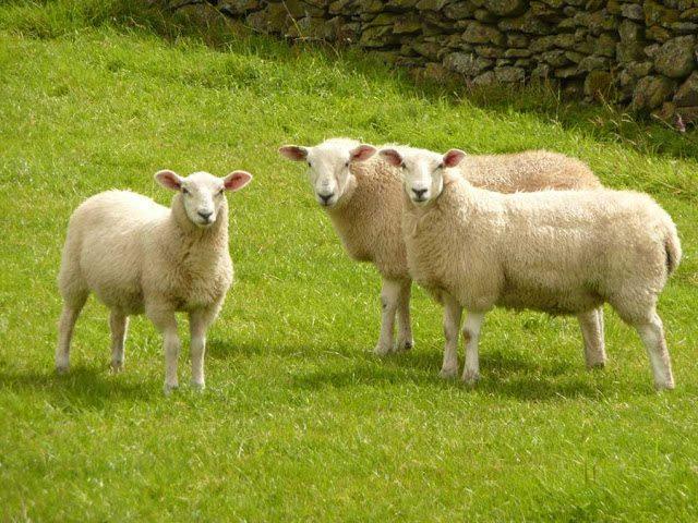 Nhau thai cừu tốt cho sức khỏe